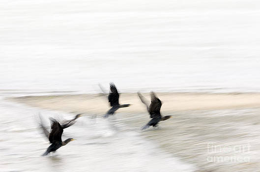 Flight of the Cormorants by David Lade