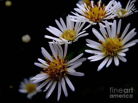 Flower Drama Series - Daisy Fleabane by Tanya Keefe