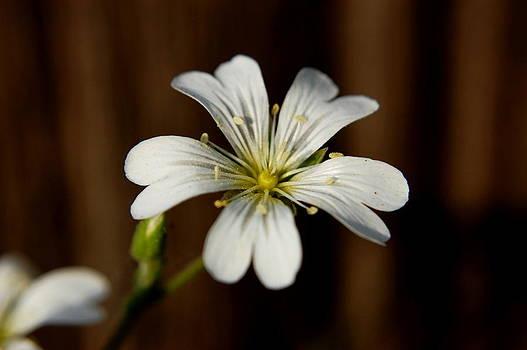 Flower by Lenka Kendralova