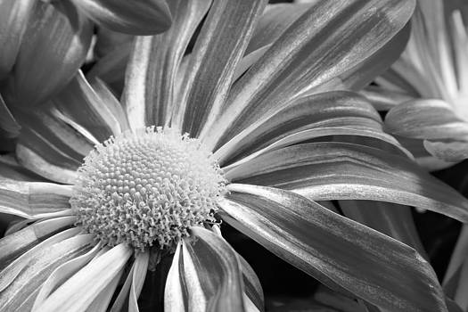 James BO  Insogna - Flower Run through It Black and white
