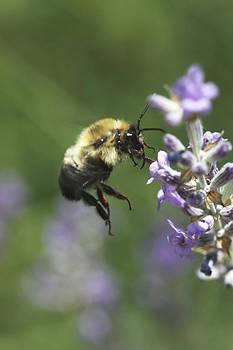 Flying Bee by Laura Tucker