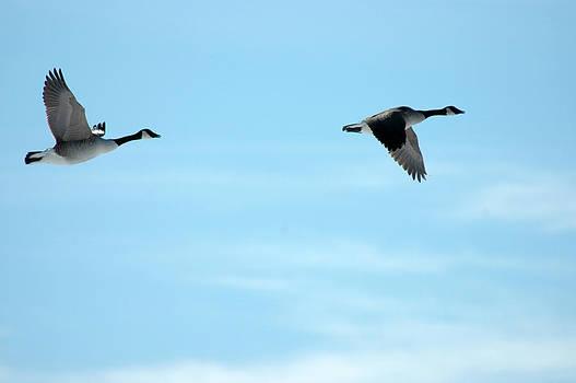 Flying Canada Geese by Rafael Figueroa