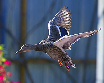Flying Duck by Sasse Photo