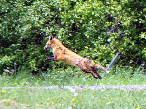 Flying red fox by Mark Haley
