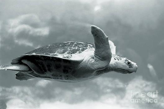 Flying Turtle by Pat Carosone