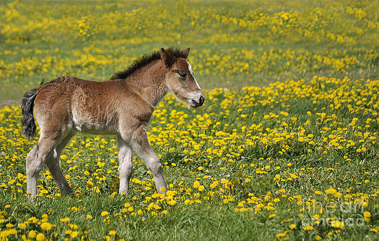 Foal in field by Conny Sjostrom