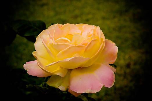 Forum Rose by Jen Morrison