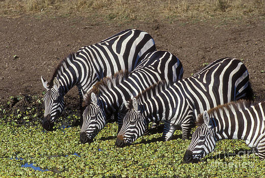 Sandra Bronstein - Four for Lunch - Zebras