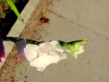Foxglove by Amy Bradley