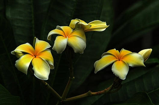 Frangipani by James Corley