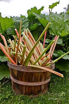 Fresh Rhubarb by Carol Fielding