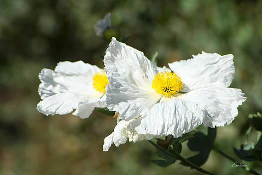 Diana Haronis - Fried Egg Flowers