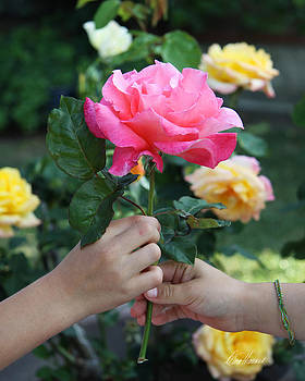 Diana Haronis - Friendship Rose