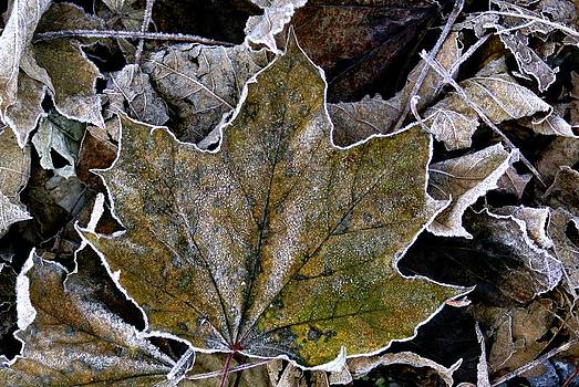 Fringed Maple Leaf by L Granville Laird