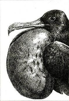 Galapagos Frigate by Beka Burns