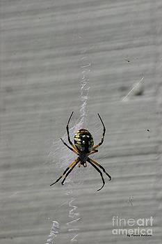 Tannis  Baldwin - Garden Spider