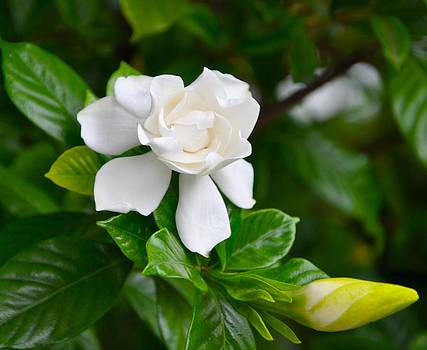Gardenia by Lori Kesten