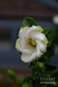 Tannis  Baldwin - Gardenia raindrops
