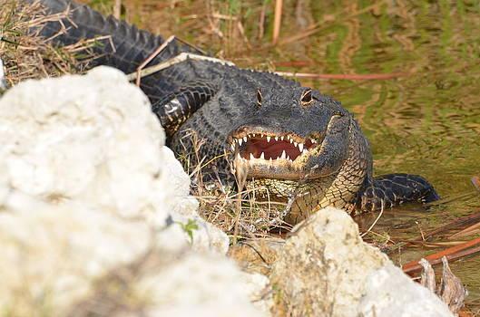 Gator Looking At You by Susan McNamara