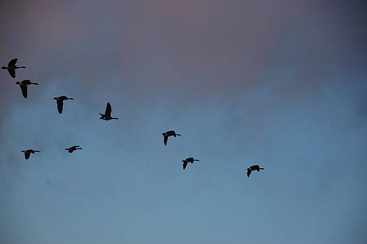 Randy J Heath - Geese in flight in morning