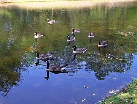 Patricia Taylor - Geese In Reflecting Pond