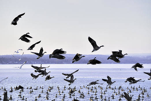 Geese over Canandaigua Lake 2009 by Joseph Duba