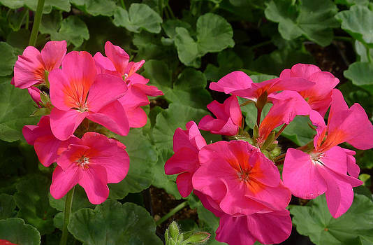 Geraniums by Linda Pope