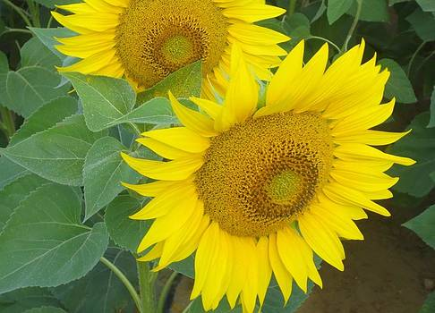 Giant Sunflowers by May Leong