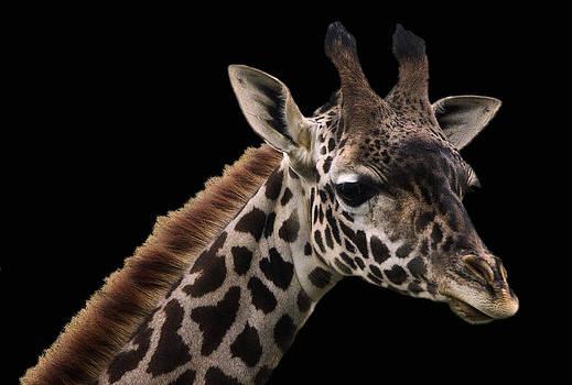 Giraffe-1 by Stephen EIS