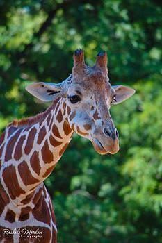 Giraffe by Rachele Morlan