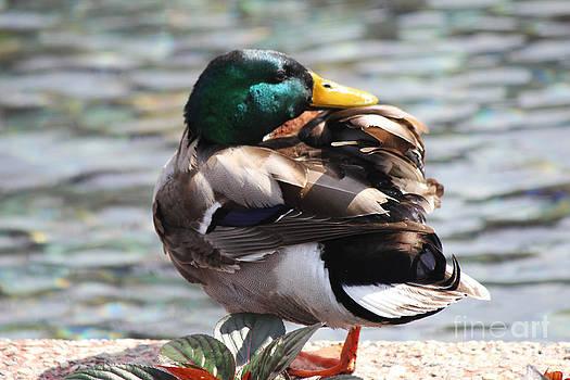 Glimmering Duck by Carrie Clarke-Hooge