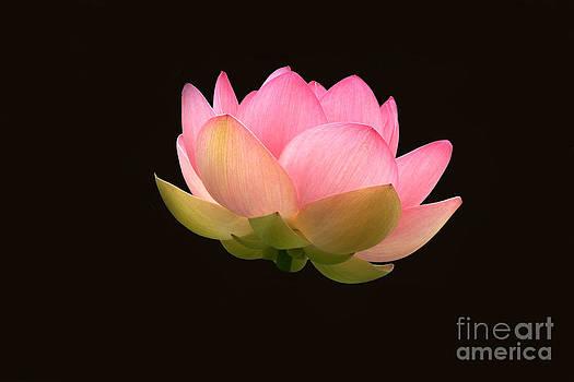 Byron Varvarigos - Glowing Lotus Flower On Black