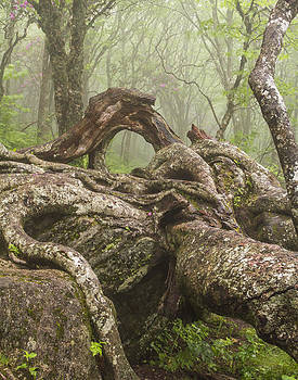 Gnarly Old Tree in Fog Along the Blue Ridge Parkway by Bill Swindaman