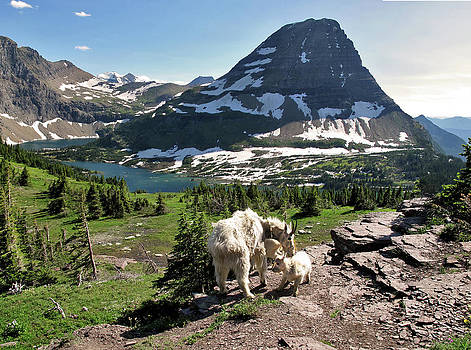 Goats Bear Hat Mountain Hidden Lake Glacier National Park Larry Darnell by Larry Darnell