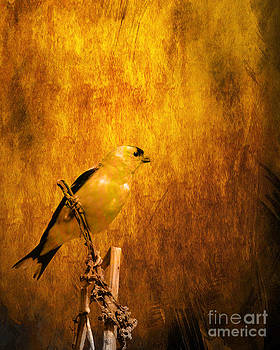 Wingsdomain Art and Photography - Golden Finch