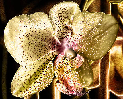 Golden Orchid by Barbara Middleton