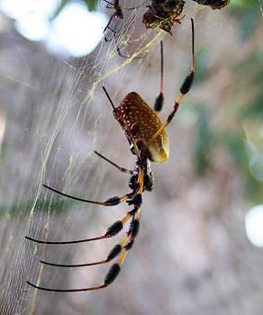 Golden Silk Spider by Monica Lahr