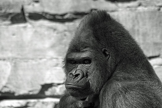 Gorilla number 1 by Dan Lease