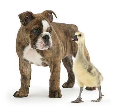 Mark Taylor - Gosling And Bulldog Pup
