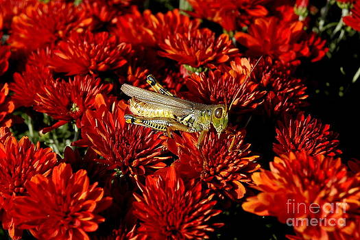 Grasshopper in Red Flowers by Curtis Brackett