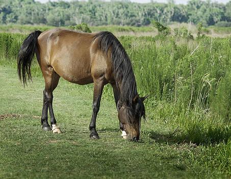 Lynn Palmer - Grazing Florida Cracker Horse