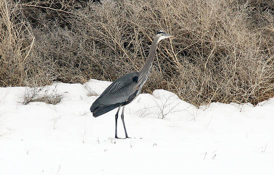 S and S Photo - Great Blue Heron - 0011
