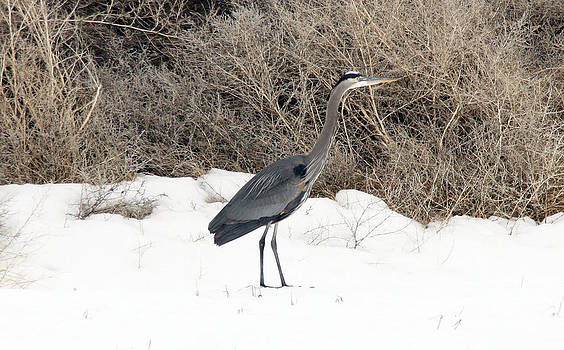 S and S Photo - Great Blue Heron - 0012