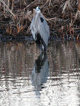 S and S Photo - Great Blue Heron - 0013