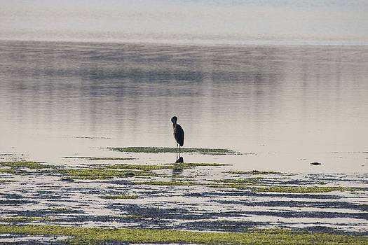 S and S Photo - Great Blue Heron - 0018