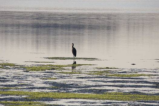 S and S Photo - Great Blue Heron - 0019