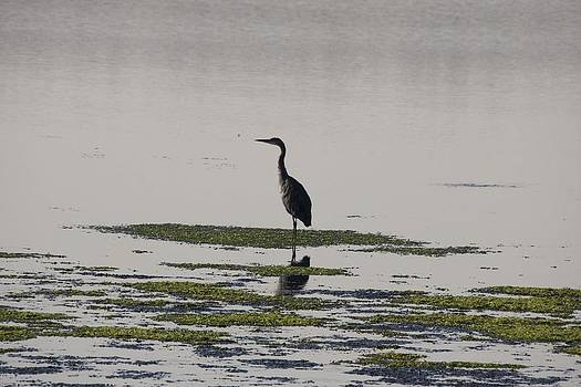 S and S Photo - Great Blue Heron - 0020