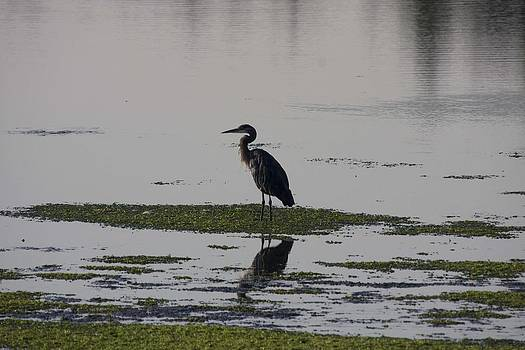 S and S Photo - Great Blue Heron - 0021
