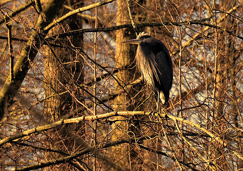 LAWRENCE CHRISTOPHER - Great Blue Heron at Dusk