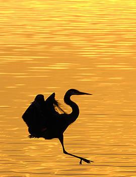 Randall Branham - Great Blue Heron Landing in golden Light